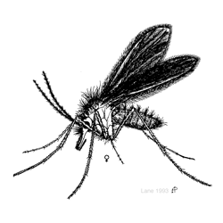 Sand fly illustration